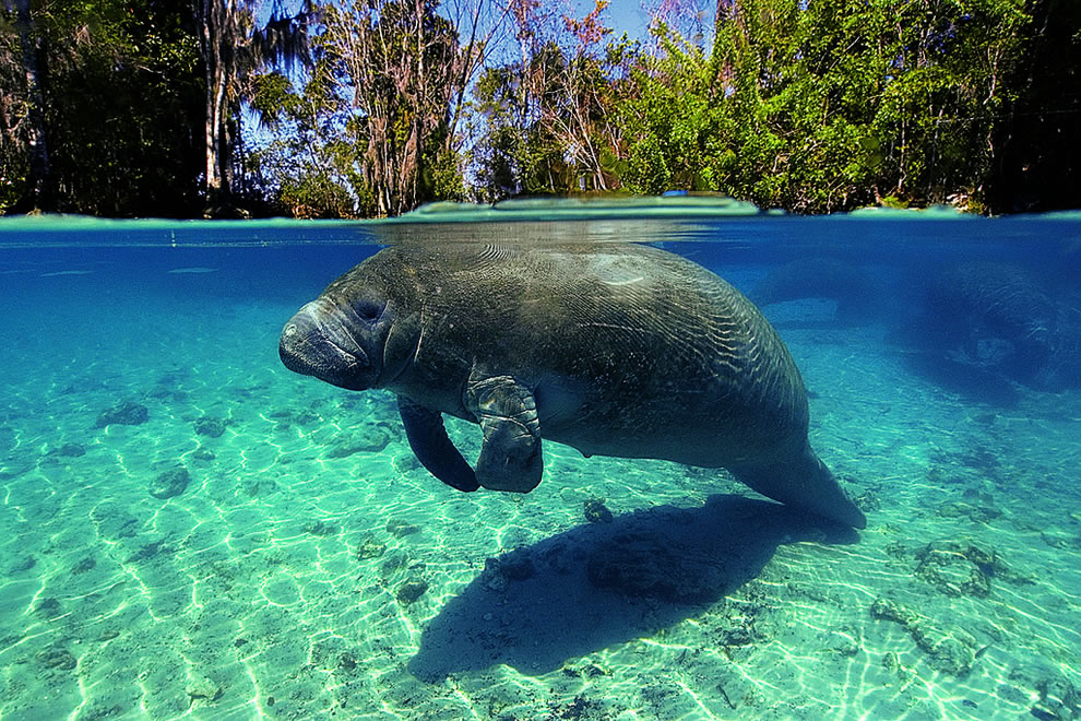 Florida-manatee-Trichechus-manatus-latirostrus-Crystal-River-Florida-USA